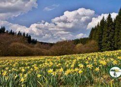 Fuhrtsbachtal Zur Narzissenblüte