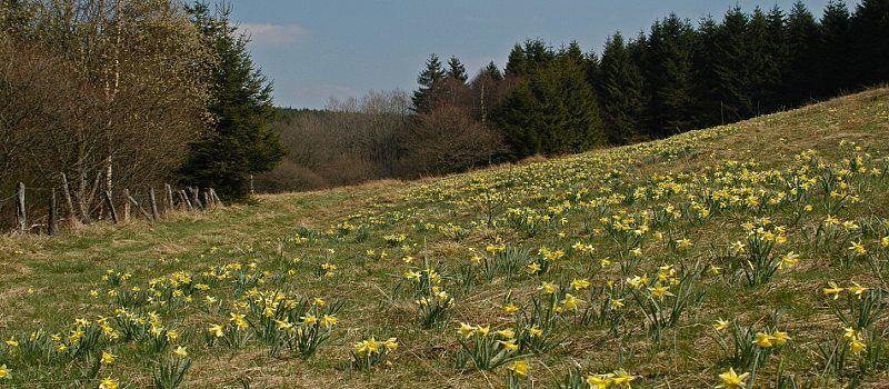 Narzissenwanderung Büllingen- Rocherath